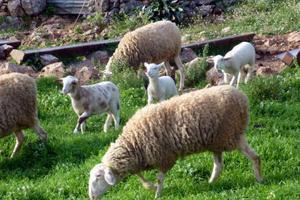 Τα πρόβατα έφαγαν τα χασισόδεντρα